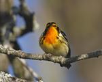 A Blackburnian Warbler perches on a dead branch.  7437 drive 6