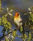 A Blackburnian Warbler perches in an oak tree in spring.  7443 drive 6