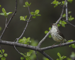 A Northern Waterthrush sings on a bush.  7760 drive 6