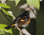 An American Redstart perches in the woods in spring.  7458 drive 6