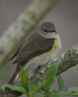 A female American Redstart perches on a branch.  7684 drive 6