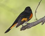 An American Redstart perches on a branch.  7851 drive 6