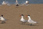 Caspian Terns squawk on a beach.  7318 drive 6