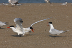 Caspian Terns squawk and flap on a beach.  7320 drive 6