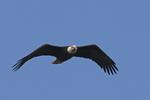 A Bald Eagle flies over.  9049 drive 6