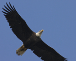 A Bald Eagle flies over.  9057 drive 6
