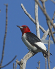 A Red-headed Woodpecker perches in a dead tree.  8926 drive 6