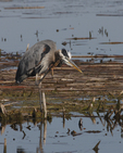A Great Blue Heron scratches.  8239 drive 6