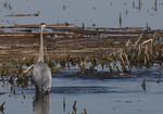 A Great Blue Heron watches carp swim around near shore.  8242 drive 6
