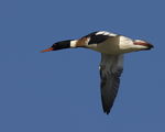 A Red-breasted Merganser flies over.  9807 drive 6