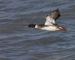 A Red-breasted Merganser flies over the water.  9821 drive 6