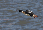 A Red-breasted Merganser flies over the water.  9892 drive 6