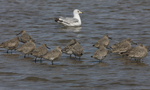 Willets stand in the shallow water near shore.  6962 drive 6