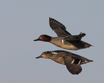 A pair of Green-winged Teals fly by.  1986 drive 7