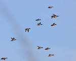 Green-winged Teals fly over.  2280 drive 7