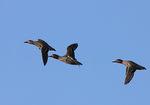 Green-winged Teal flies over.  2999 drive 7