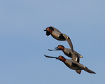 Green-winged Teals fly over.  3078 drive 7