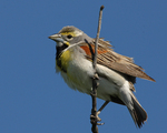 A Dickcissel perches on a branch.  5495 drive 7