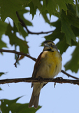 A Dickcissel perches on a branch.  5563 drive 7