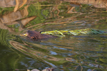 A Beaver swims off with its branches.  6293 drive 7