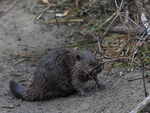 A baby Beaver nibbles on a vine while on shore.  6487 drive 7