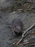 A baby Beaver comes down from shore.  6489 drive 7
