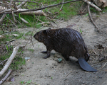 A young Beaver goes up on shore.  6947 drive 7