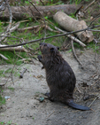 A young Beaver goes up on shore.  6948 drive 7