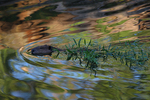 A Beaver brings branches as it swims along.  8516 drive 7
