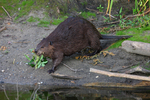 A Beaver brings a branch down the shore.  8775 drive 7