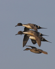 Pintails fly over.  1952 drive 7