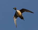 A Pintail flies over.  2075 drive 7