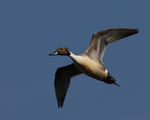 A Pintail flies over.  2076 drive 7