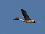 A Pintail flies by.  2756 drive 7