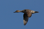 A Pintail flies by.