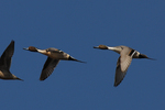Pintails fly over.  2886 drive 7