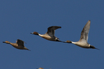 Pintails fly over.  2887 drive 7