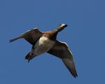 An American Wigeon flies over.  2063 drive 7