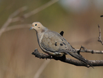 A Mourning Dove perches on a branch.  4576 drive 7