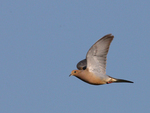 A Mourning Dove flies over.  4939 drive 7