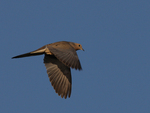 A Mourning Dove flies over.  5022 drive 7