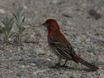 A House Finch perches on the ground.  4620 drive 7