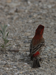A House Finch perches on the ground.  4621 drive 7