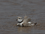A Piping Plover takes a bath.  3012 drive 7