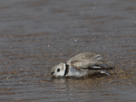 A Piping Plover takes a bath.  3013 drive 7