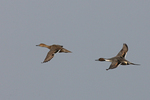 A pair of Pintails fly over.  2102 drive 7
