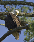 A Bald Eagle looks up from preening in a White Pine tree.  1101 drive 8