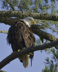 A Bald Eagle perches in a White Pine tree.  1104 drive 8