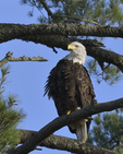 A Bald Eagle perches in a White Pine tree.  1109 drive 8