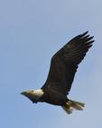 A Bald Eagle flies over.  1197 drive 8